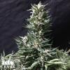 Bruce Banner FAST Feminized Seeds - ELITE STRAIN