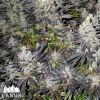 Canuk Cookies Feminized Seeds - ELITE STRAIN
