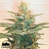 Lemonade OG Feminized Seeds