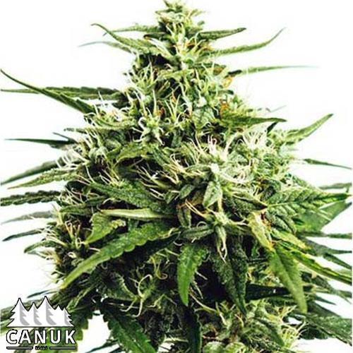 GG#4 Autoflowering Feminized Seeds