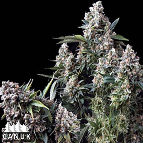 King TUT Feminized Seeds - ELITE STRAIN