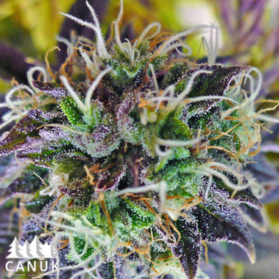 Auto Purple Kush Feminized Seeds