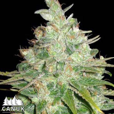 BubbleG Feminized Seeds