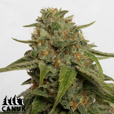 Citrus Skunk Feminized Seeds