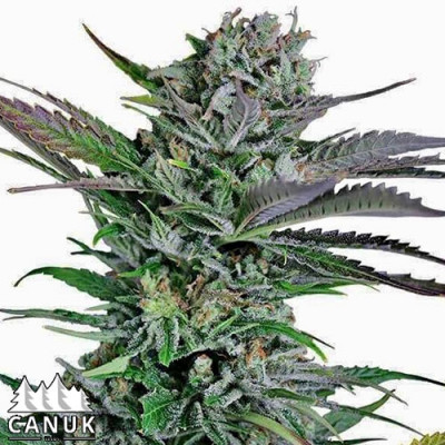 Mango Merengue Feminized Seeds