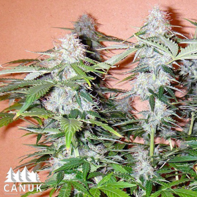Northern Lights Autoflowering Feminized Seeds