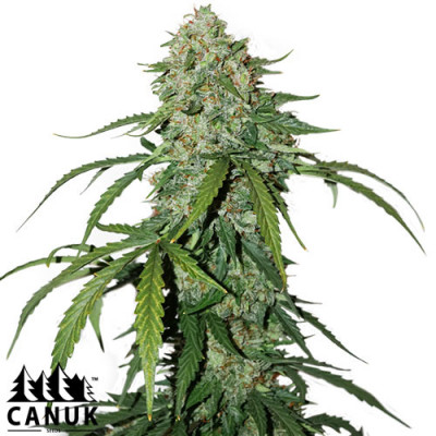 Pure CBD Autoflowering Feminized Seeds