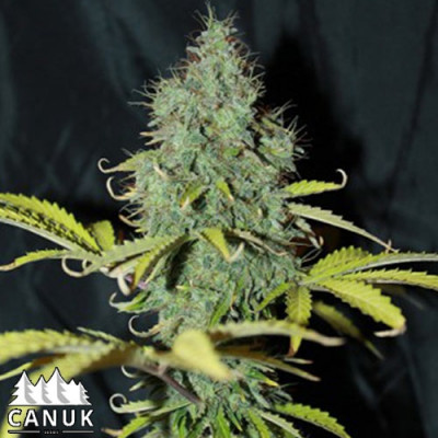 Sweet Tooth Auto Feminized Seeds